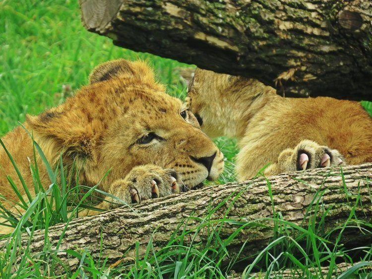 close up of two lions in green grass at at the Indianapolis Zoo near Cincinnati, Ohio USA