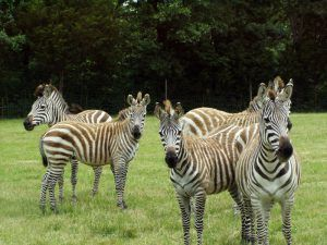 group of zebras at the Promised Land Zoo in branson missouri