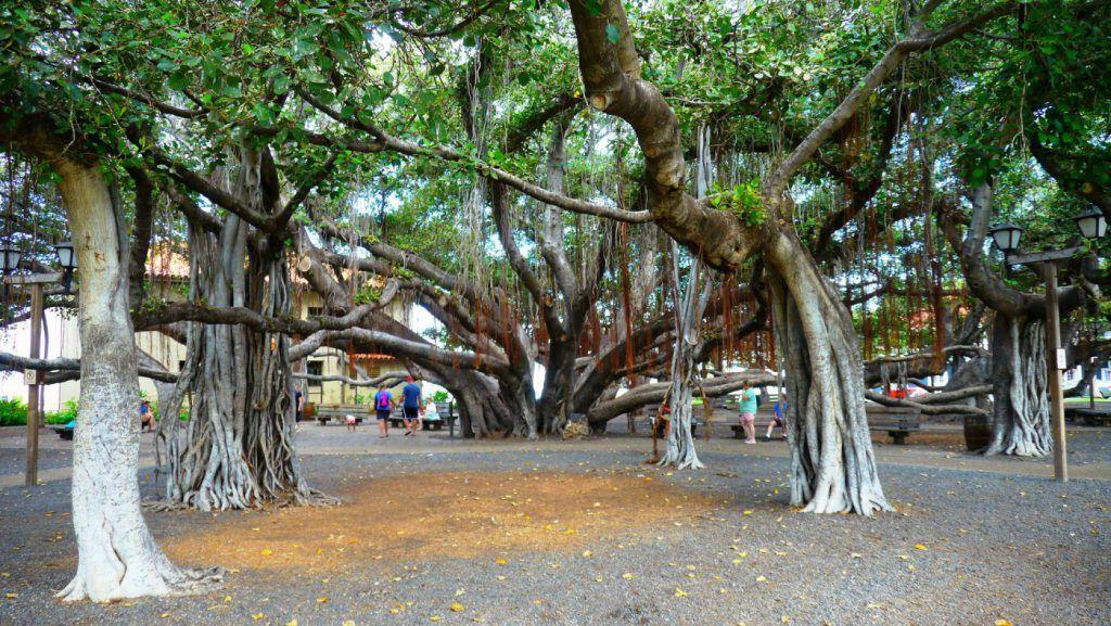 couple walking under the banyan tree in lahaina in Maui, hawaii, USA