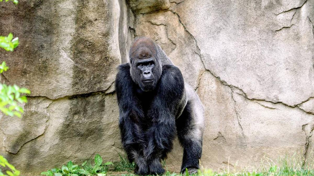 ground view of a gorilla standing next to a tall rock in Busch Gardens Tampa, Florida, USA